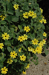 Sunny Lemon Star Black-Eyed Susan (Thunbergia alata 'Sunny Lemon Star') at Hicks Nurseries