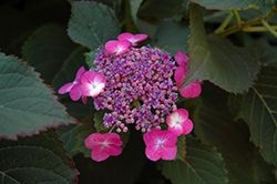 Tuff Stuff™ Hydrangea (Hydrangea serrata 'MAK20') at Hicks Nurseries