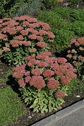 Autumn Fire Stonecrop (Sedum spectabile 'Autumn Fire') at Hicks Nurseries