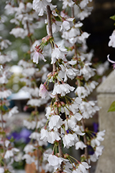 Snow Fountains Yoshino Cherry (Prunus 'Snow Fountains') at Hicks Nurseries