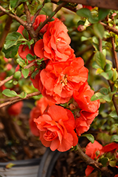 Double Take Orange™ Flowering Quince (Chaenomeles speciosa 'Double Take Orange Storm') at Hicks Nurseries