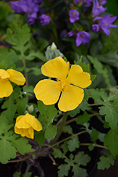 Celandine Poppy (Stylophorum diphyllum) at Hicks Nurseries
