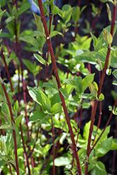 Bailey Red-Twig Dogwood (Cornus baileyi) at Hicks Nurseries