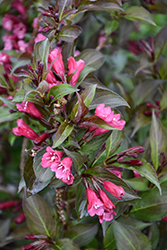 Shining Sensation™ Weigela (Weigela florida 'Bokrashine') at Hicks Nurseries