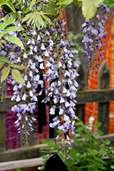 Japanese Wisteria (Wisteria floribunda) at Hicks Nurseries