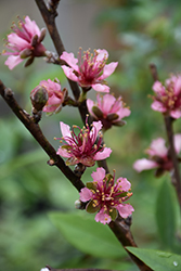 Red Gold Nectarine (Prunus persica 'Red Gold') at Hicks Nurseries