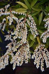 Japanese Pieris (Pieris japonica) at Hicks Nurseries