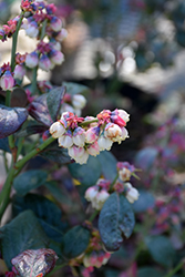 Pink Icing® Blueberry (Vaccinium 'ZF06-079') at Hicks Nurseries