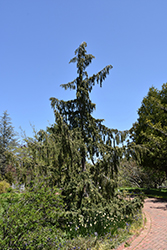 Weeping Nootka Cypress (Chamaecyparis nootkatensis 'Pendula') at Hicks Nurseries