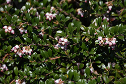 Bearberry (Arctostaphylos uva-ursi) at Hicks Nurseries