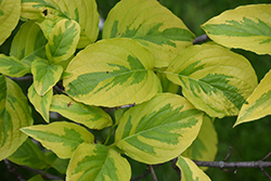 First Lady Flowering Dogwood (Cornus florida 'First Lady') at Hicks Nurseries