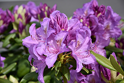 Boursault Rhododendron (Rhododendron catawbiense 'Boursault') at Hicks Nurseries