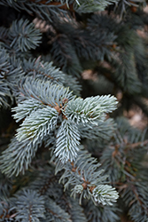 Hoopsii Blue Spruce (Picea pungens 'Hoopsii') at Hicks Nurseries