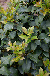 Centennial Girl Holly (Ilex 'Centennial Girl') at Hicks Nurseries