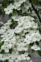 Celestial Flowering Dogwood (Cornus 'Rutdan') at Hicks Nurseries