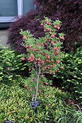 Showy Lanterns Enkianthus (Enkianthus campanulatus 'Showy Lanterns') at Hicks Nurseries