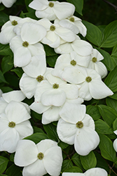 Aurora Flowering Dogwood (Cornus 'Rutban') at Hicks Nurseries