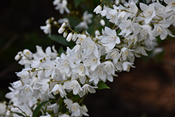 Slender Deutzia (Deutzia gracilis) at Hicks Nurseries