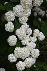 Japanese Snowball Viburnum (Viburnum plicatum) at Hicks Nurseries