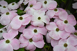 Stellar Pink Flowering Dogwood (Cornus 'Stellar Pink') at Hicks Nurseries