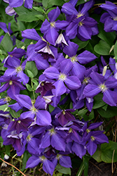 Jackmanii Clematis (Clematis x jackmanii) at Hicks Nurseries
