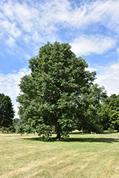 Swamp White Oak (Quercus bicolor) at Hicks Nurseries