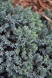 Blue Star Juniper (Juniperus squamata 'Blue Star') at Hicks Nurseries