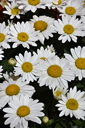Snowcap Shasta Daisy (Leucanthemum x superbum 'Snowcap') at Hicks Nurseries