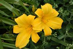 Buttered Popcorn Daylily (Hemerocallis 'Buttered Popcorn') at Hicks Nurseries
