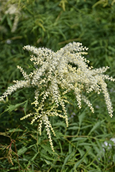 Cutleaf Goatsbeard (Aruncus dioicus 'Kneffii') at Hicks Nurseries