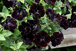 Black Velvet Petunia (Petunia 'Black Velvet') at Hicks Nurseries