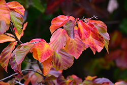 Persian Parrotia (Parrotia persica) at Hicks Nurseries