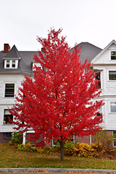 Sun Valley Red Maple (Acer rubrum 'Sun Valley') at Hicks Nurseries