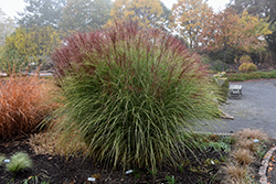 Morning Light Maiden Grass (Miscanthus sinensis 'Morning Light') at Hicks Nurseries