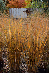 Northwind Switch Grass (Panicum virgatum 'Northwind') at Hicks Nurseries