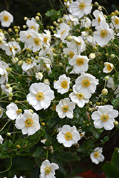 Honorine Jobert Anemone (Anemone x hybrida 'Honorine Jobert') at Hicks Nurseries