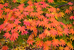 Japanese Maple (Acer palmatum) at Hicks Nurseries
