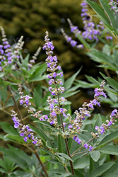 Chaste Tree (Vitex agnus-castus) at Hicks Nurseries