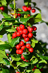China Girl Meserve Holly (Ilex x meserveae 'China Girl') at Hicks Nurseries