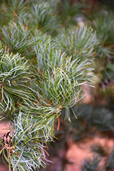 Blue Japanese Pine (Pinus parviflora 'Glauca') at Hicks Nurseries