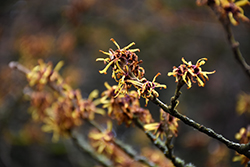 Chinese Witchhazel (Hamamelis mollis) at Hicks Nurseries