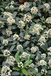Dwarf Female Japanese Skimmia (Skimmia japonica 'Dwarf Female') at Hicks Nurseries