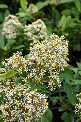 Dwarf Male Japanese Skimmia (Skimmia japonica 'Dwarf Male') at Hicks Nurseries