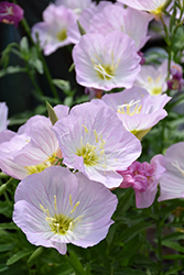 Siskiyou Mexican Evening Primrose (Oenothera berlandieri 'Siskiyou') at Hicks Nurseries