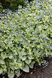 Jack Frost Bugloss (Brunnera macrophylla 'Jack Frost') at Hicks Nurseries