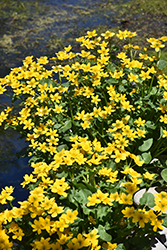Marsh Marigold (Caltha palustris) at Hicks Nurseries