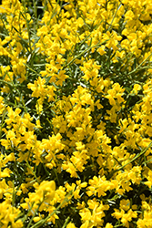 Bangle® Dyers Greenwood (Genista lydia 'Select') at Hicks Nurseries