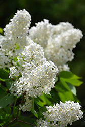 White French Lilac (Syringa vulgaris 'Alba') at Hicks Nurseries