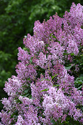 Donald Wyman Lilac (Syringa x prestoniae 'Donald Wyman') at Hicks Nurseries