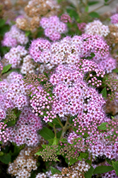 Little Princess Spirea (Spiraea japonica 'Little Princess') at Hicks Nurseries